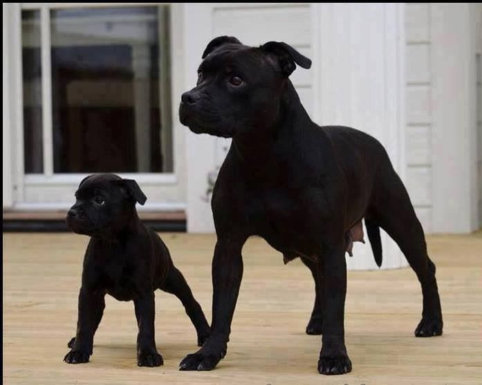 Black Staffies- mother & baby! Gorgeous!!!