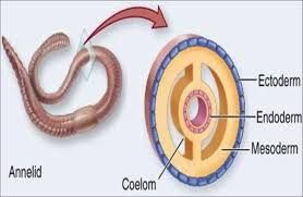 a coelom is a fluid filled space inbetween the digestive tract and the skin
