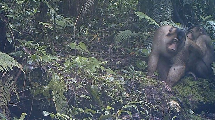 Southern pig-tailed #macaques groom each other to reinforce social bonds and maintain good hygiene #FromTheField. Watch the camera trap footage here: https://www.youtube.com/watch?v=BnqAP2pKnaM