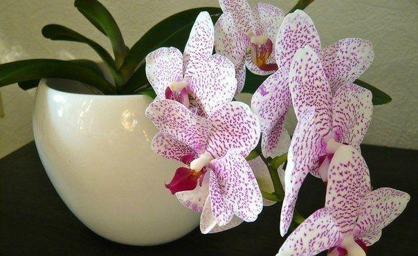 4 полезных совета в выращивании орхидеи.