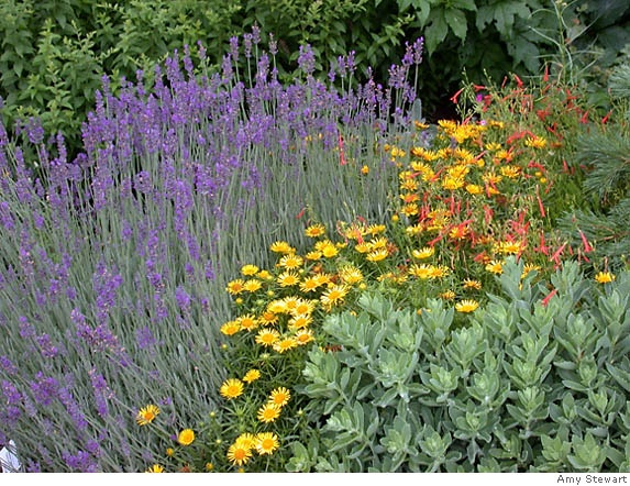 Lavender,  'Sundancer' daisy, Penstemon pinifolius 'Nearly Red' and a sedum not yet in bloom