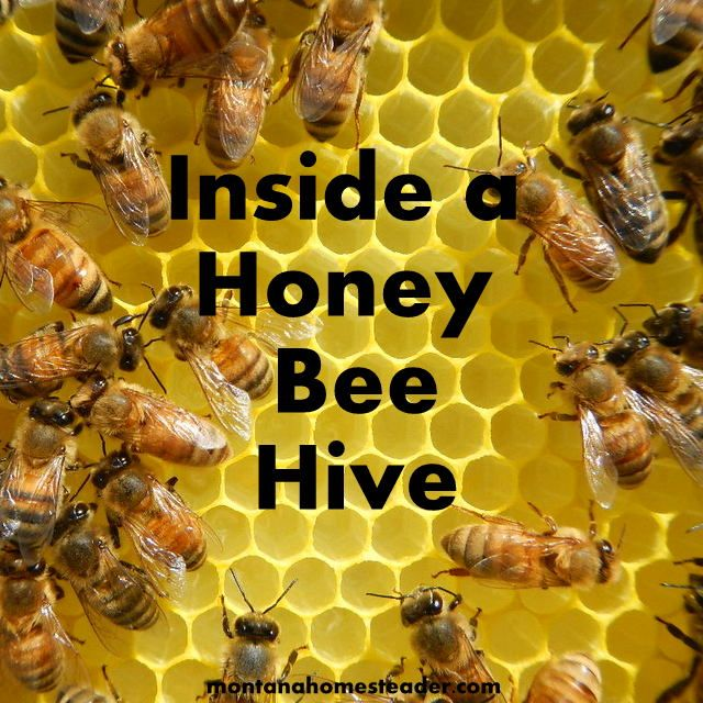 a look inside a honey bee hive- amazing pictures of the life cycle of a honey bee inside our bee hives!