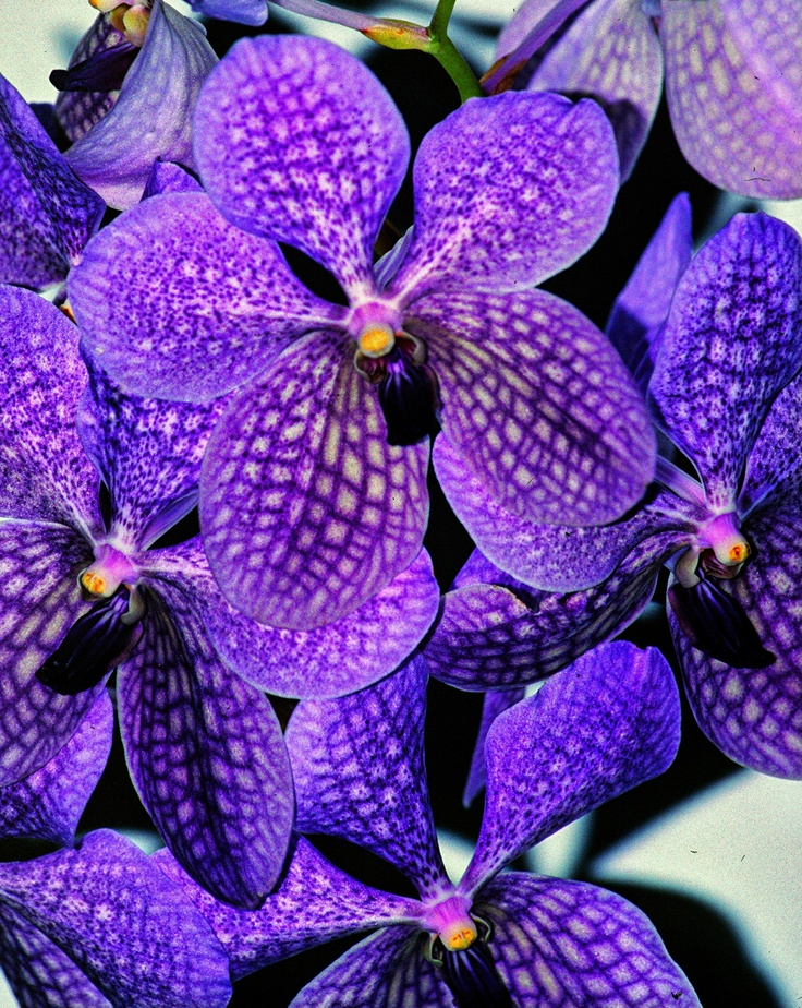 118 best images about orchid vanda ascocenda on pinterest purple singapore and miami - Vanda orchid care ...