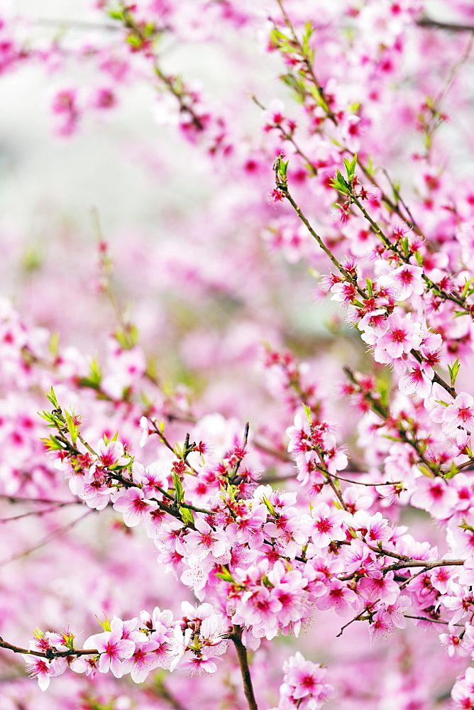 Spring Cherry Blossom Festival Jinhei South Korea Asia Cherry Blossom Wallpaper Beautiful Flowers Wallpapers Cherry Blossom Festival