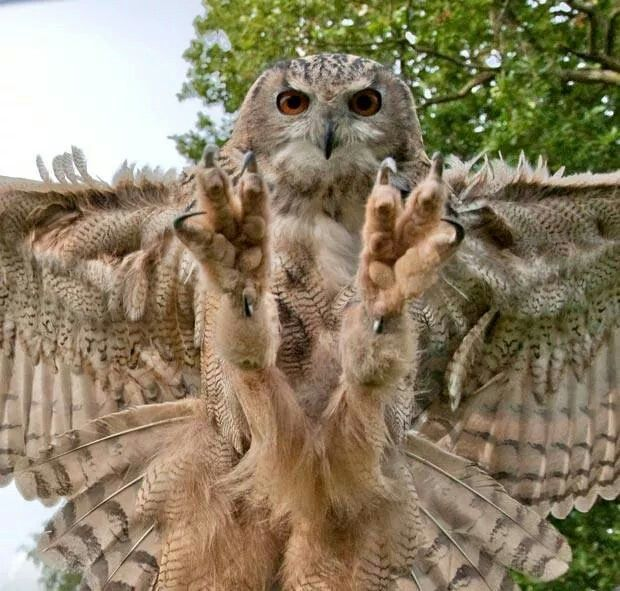 Eagle-owl swooping in at camera