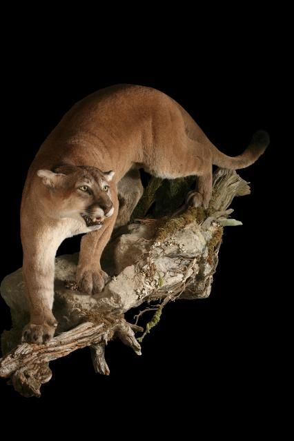 60 Best Images About Taxidermy Mounts On Pinterest