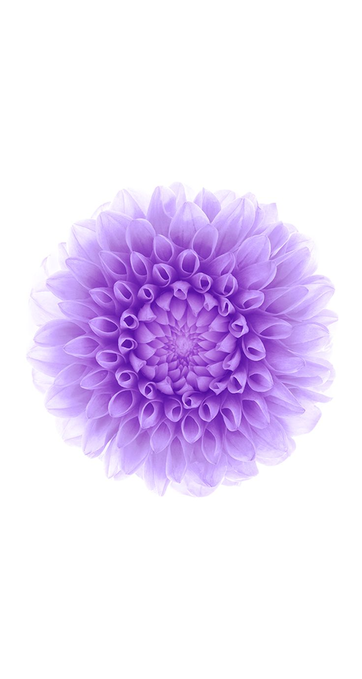 Purple flower white background free desktop 8 hd wallpapers - Iphone 6 And Iphone Wallpaper In Apple Ios 8 With Purple Lotus Flower Hd Wallpapers For Free