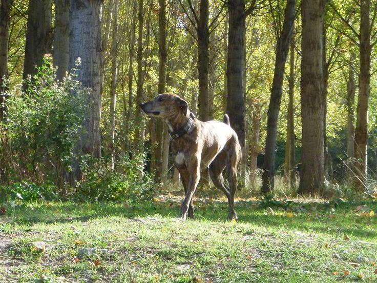 La ansiedad por separación es un problema de comportamiento bastante frecuente hoy en día en muchos perros, ya que numerosos estudios indican que afecta a más del 15% de la población canina. Deriva del miedo y se caracteriza por un estado de alerta ante una señal de peligro o amenaza... http://blog.hvcruzcubierta.com/la-ansiedad-por-separacion-en-los-perros/