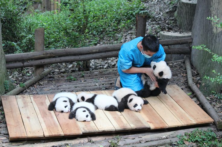 For the visitor the experience is entrancing. I was childishly happy to see so many pandas up close and personal in their natural environment. When a nursery of seven baby pandas were brought outside from their den for the first time, my happiness was complete.