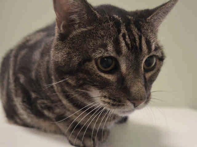 MICKEY - A1091884 - - Manhattan  ***TO BE DESTROYED  10/18/16 *** SECOND CHANCE TONIGHT FOR MICKEY!!!  OH MICKEY YOU'RE SO FINE!!….MICKEY is a super senior who is 15 and shy…..He's having a tough time at the shelter right now and he's not eating. That's serious for big guys (16 lbs) like MICKEY. This poor guy lost his owner suddenly and now he is scared and confused and he's already on the timid side. He was afraid of the children h
