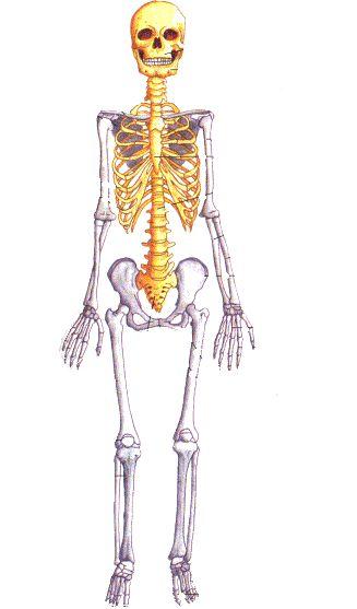 Ms de 25 ideas increbles sobre Esqueleto humano partes en