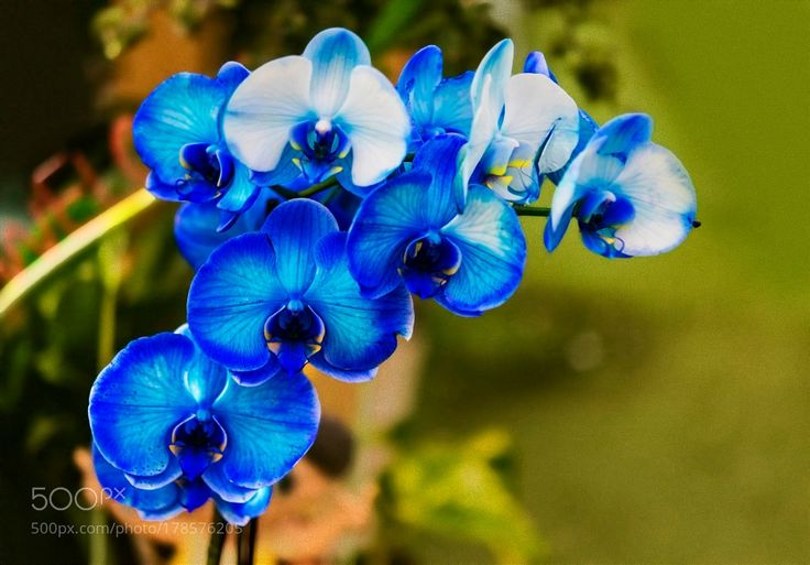 Mavi Orkide (Blue Orchids) by ismailcalli. @go4fotos