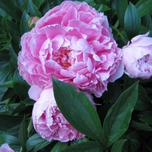 Peonies can grow in Texas.