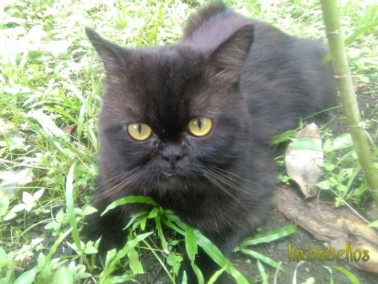 #Cat  #Tristan is muy cat #black #eyes #love #Gato persa #photography…