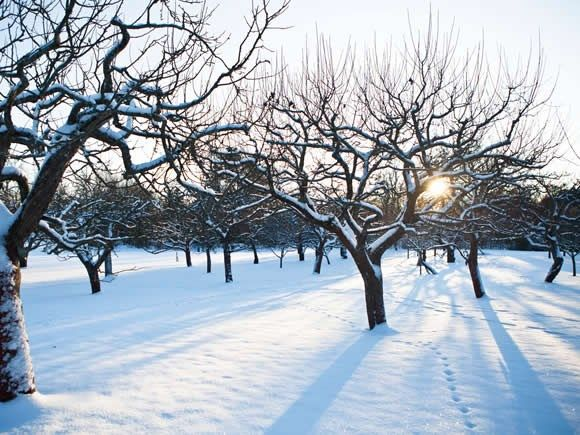How to prune apple trees in winter