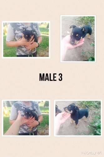 three male kelpie pups very well breed! Capree/Barclay/Amos bloodlines. Mother fantastic yard dog and father great alrounder. These pups will not disappoint. Had first vac 7 weeks old located Young nsw - https://www.pups4sale.com.au/dog-breed/450/Kelpie-(Australian).html