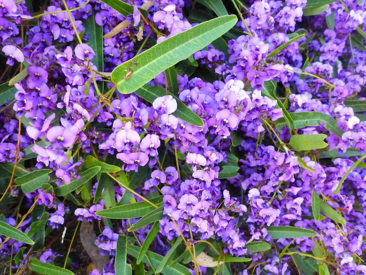 Native sarsparilla, Hardenbergia violaceaNative sarsparilla (Hardenbergia violacea) is arguably the most adaptable of all Australian climbers and comes in white, pink or purple and there are also more compact shrubby forms such as 'Minihaha'.