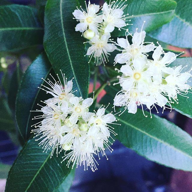My #lemonmyrtle is out in sweet smelling #flowers #bendigo #junortoun #mustbetheonlyoneinbendigo they normally don't grow here