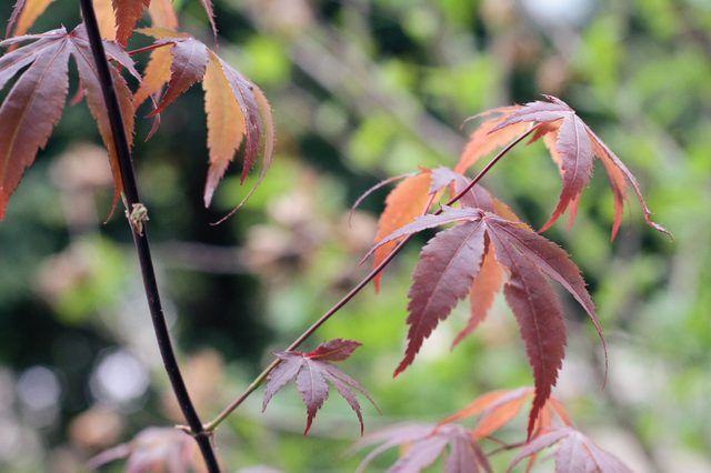 How to Care for a Dwarf Japanese Maple Tree