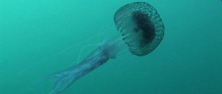 Las medusas se encuentran en todos los mares y océanos del mundo, distribuyéndose desde la superficie hasta las profundidades marinas.