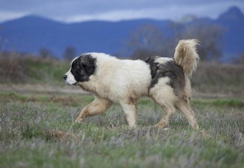 A noble Pyrenean Mastiff
