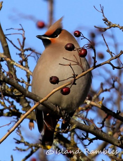 Island Rambles: Catching Up Birds