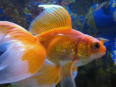 Veiltail goldfish...tattoo?