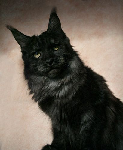 Maine Coon, black smoke (ds). Justcoon's Oh Suzanna