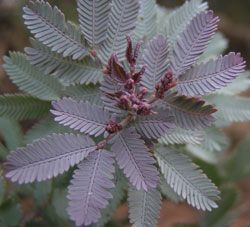 Acacia baileyana purpurea 'Purple Acacia' Beautiful purple new folage.