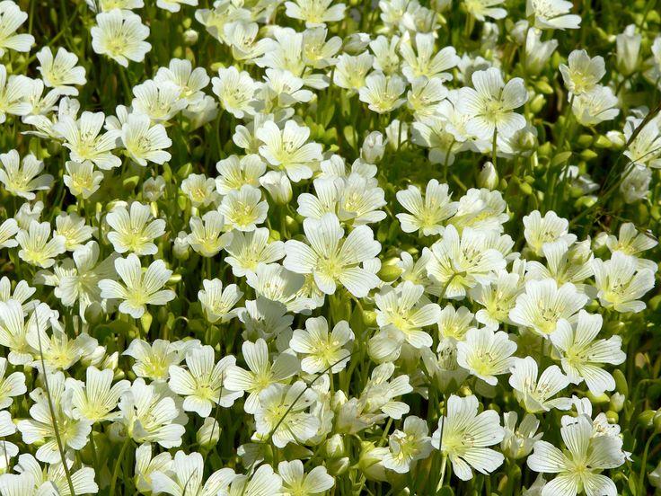 Limnanthes vinculans, or Sebastopol meadowfoam.  flowers,  limnanthesvinculans,  sebastopolmeadowfoam,  white,  spring, summer,  plant,  nature