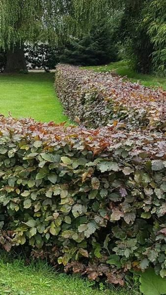 Fagus Sylvatica Atropunicea known as Purple Beech for specimen tree or hedging plants, buy online UK delivery