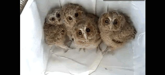 "Baby Owls!  The ""I Don't Have to Tell You This is Cute"" Animal Video of the Day!!! ... #pets #animals ... PetsLady.com"