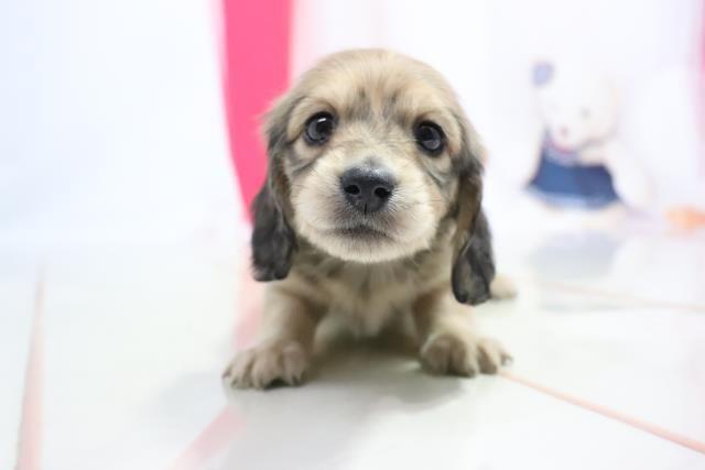 ミニチュア ダックスフンドの子犬 メス 横浜港南台店 ペットショップcoo Riku ペットショップ 子猫 子犬