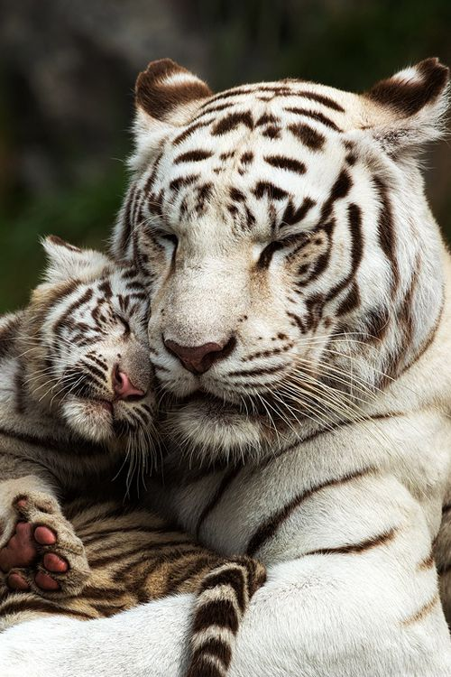 ^White Tiger mother and cub cuddling