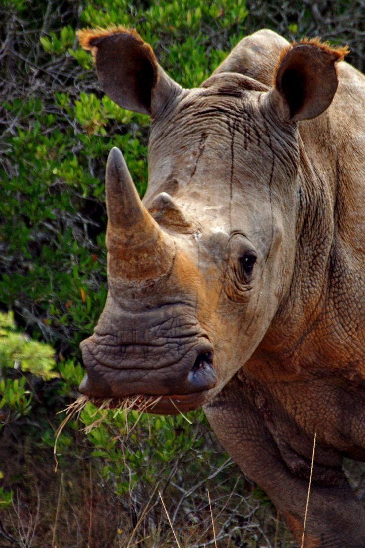 F F B C E Edc F African Rhino African Animals on Rhinoceros Rear End