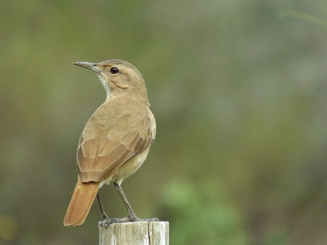 Foto joão-de-barro (Furnarius rufus) por Henrique Junior | Wiki Aves - A Enciclopédia das Aves do Brasil