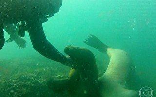 Contato de leões marinhos com mergulhadores beira a intimidade