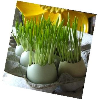 Easter grass: Easter Grass, Easter Centerpieces, Growing Grass, Wheat Grass, Eggs Shells, Easter Eggs, Eggs Cups, Easter Ideas, Eggs Cel Easter