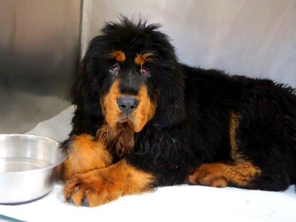 SAFE 6-7-2015 by Tibetan Mastiff Rescue --- Manhattan Center BASS – A1038712  MALE, BLACK / BROWN, TIBETAN MASTIFF MIX, 6 mos STRAY – STRAY WAIT, NO HOLD Reason STRAY Intake condition UNSPECIFIE Intake Date 06/03/2015