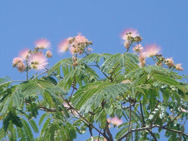 Acacia de Constantinopla o Árbol de la seda Nombre científico : Albizia julibrissin Pertenece a la familia de las Fabáceas (Leguminosas) Originaria del sureste y este de Asia, desde Irán hasta China y Corea. Árbol de hoja caduca, de amplia copa y con las ramas alargadas. Corteza grisácea que se fisura verticalmente a medida que el árbol envejece. Hojas compuestas bipinnadas. Florece en verano, las flores no tienen pétalos,sólo largos estambres de color blanco rosado.