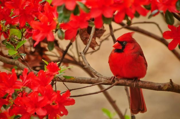 Northern Cardinal   Attracting Birds - Birds and Blooms