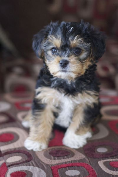 De 25 Bedste Id 233 Er Inden For Yorkie Small Dogs Yorkie