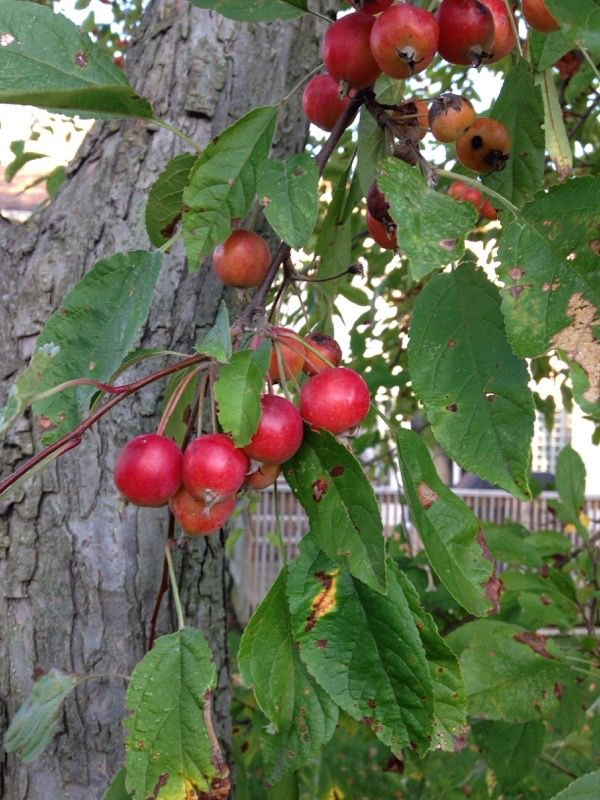 Crabapples (malus): These appear to be crab apples, of which there are many, many varieties.  Please consult with your local garden center or county extension agent before consuming any plant, for a second ID opinion.