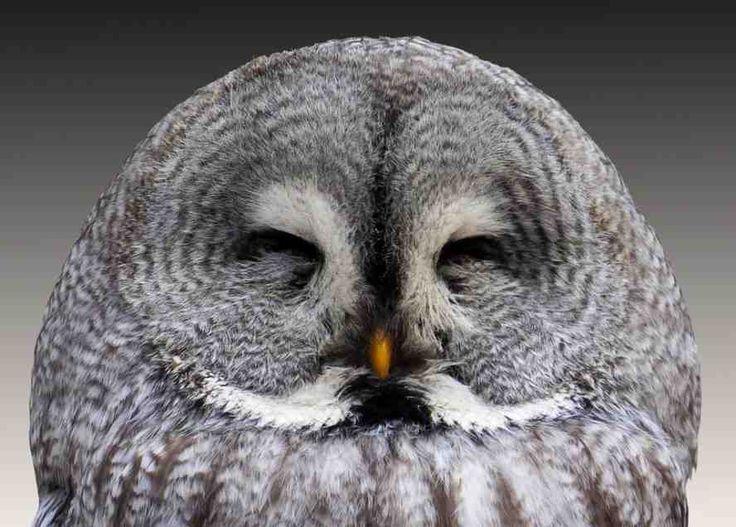 Burung Hantu Burung hantu merupakan satu-satunya burung yang menurunkan kelopak mata bagian atasnya untuk berkedip. Burung-burung lainnya mengangkat kelopak mata …