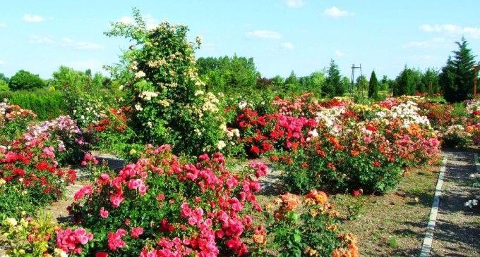 trandafirii pentru dulceață, ideea de afaceri a unor tineri din județul Mureș