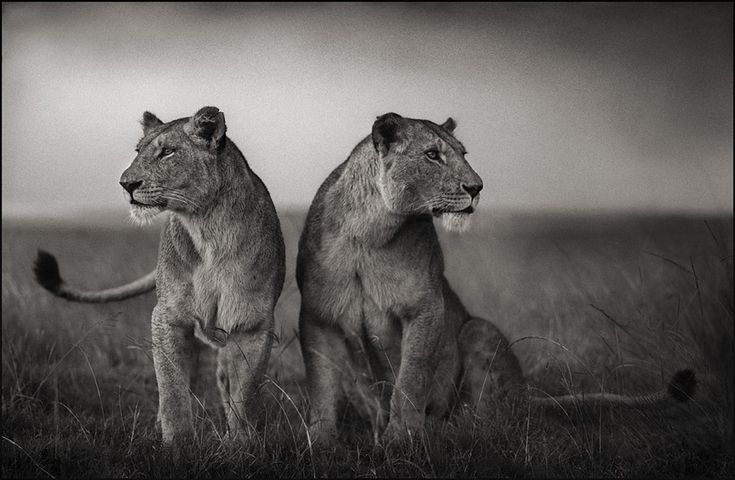 Animals Black And White Elephants 10000 Lions Big Cats: Photographer Images On Pinterest
