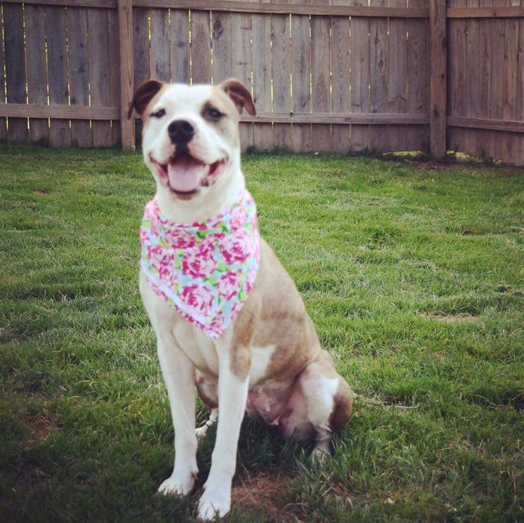Bullboxer Pit dog for Adoption in Germantown, OH. ADN