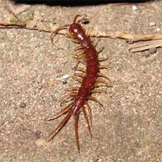 """Viewing Families in the Order """"Lithobiomorpha"""" (Stone Centipedes)"""