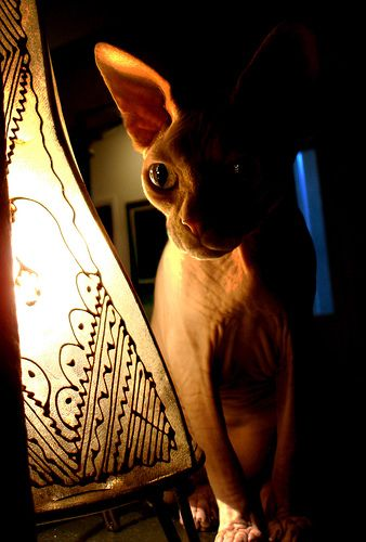Beautiful Boogeyman (Sphynx cat)