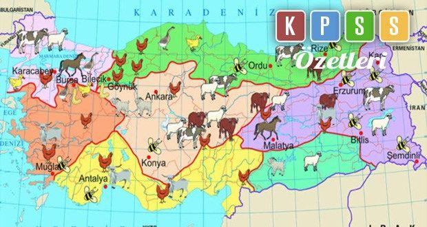 Türkiye, iklim ve yer şekli özelliğinden dolayı yetiştirilen hayvan sayısı çok ama verimi düşük olan bir ülkedir.Ülkemizde hayvancılığın gelişmesi için şunlar yapılmalıdır :  Hayvan soyları ıslah edilmeli. Otlak ve meralar ıslah edilmeli. Besicilik ve ahır hayvancılığı geliştirilmeli. Erken ve küçük yaşta hayvan kesimi önlenmeli Yem sanayisi geliştirilmelidir.  Türkiye'de Hayvancılık Yöntemleri Besi ve Ahır Hayvancılığı  Modern bir yöntemdir.Hayvanlar modern çiftlik y ada ahırlarda…